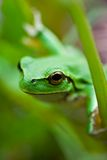 Cute Green Frog Stock Image