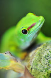 Cute green gecko Stock Photo