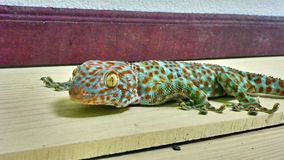 Cute green gecko sits on the wall stock images