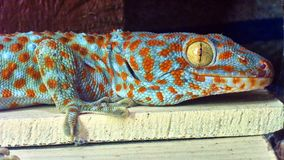 Cute green gecko sits on the wall stock photography