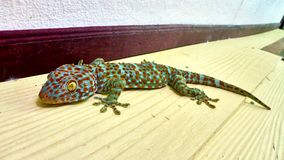 Cute green gecko sits on the wall royalty free stock image