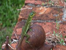 A cute green lizard in the caribbean stock footage