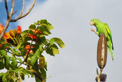 Cute green parrot on the tree Royalty Free Stock Images