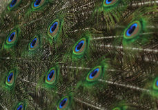 Cute green peacock feather close up Stock Image