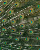 Cute green peacock feather close up Royalty Free Stock Photos
