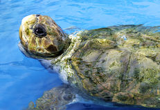 Cute green Sea Turtle swimming Royalty Free Stock Photo