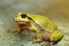 Cute green tree frog close up Royalty Free Stock Photos