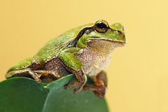 Cute green tree frog on a leaf. Hyla arborea Royalty Free Stock Images