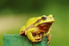 Cute green tree frog. Standing on a piece of wood  Hyla arborea Royalty Free Stock Image