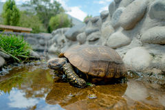 Cute green turtle walking on a pond in farm Stock Photos
