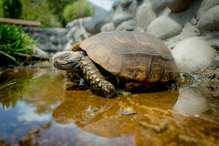 Cute green turtle walking on a pond in farm Royalty Free Stock Photo