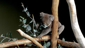 Cute grey Australian koala Royalty Free Stock Image