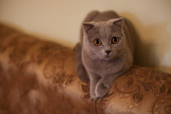 Cute grey british short hair cat posing on luxury couch closeup Stock Photo