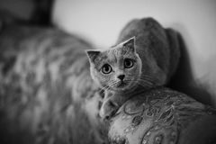 Cute grey british short hair cat posing on luxury couch closeup Royalty Free Stock Photo