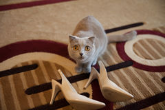 Cute grey british short hair cat posing near white wedding shoes Stock Images