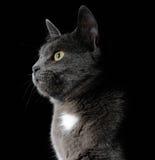 Cute grey cat Stock Photography