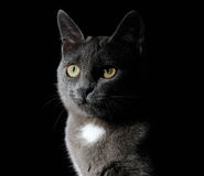 Cute grey cat Royalty Free Stock Photography