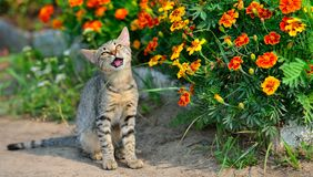 Cute grey cat eating grass Stock Images