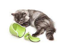 Cute grey cat Royalty Free Stock Photo