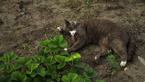 Cute grey cat lies on the ground in the garden in sunset light. Fluffy pet washes on nature stock video footage