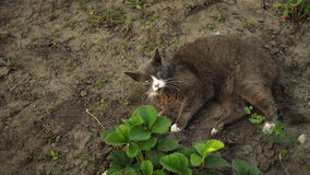 Cute grey cat lies on the ground in the garden in sunset light. Fluffy pet washes on nature.  stock footage