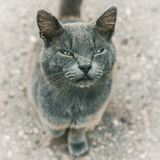 Cute grey cat looking at camera, selective focus in muzzle with narrow eyes. Close up royalty free stock image