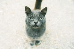 Cute grey cat looking at camera, selective focus in muzzle with narrow eyes. Close up royalty free stock photo