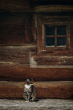 Cute grey cat sitting near old wooden house in Scandinavia, norw Royalty Free Stock Photo
