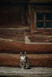 Cute grey cat sitting near old wooden house in Scandinavia, norw Stock Photography