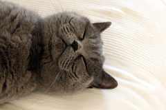 Cute gray/grey cat sleeping and dreaming Stock Images