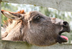 Cute grey donkey on the farm. And wooden fence Stock Images