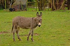 Donkey in a meadow - Equus africanus asinus. Cute grey donkey in a meadow  in the Wallonian countryside, looking at the soectator - Equus africanus asinus Stock Photo