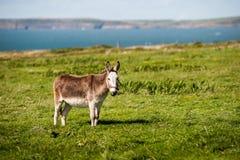 Cute grey fluffy donkey in a  field Stock Image