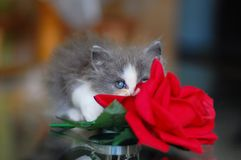 Little grey kitten with rose. Cute grey fluffy little persian kitten playing with red rose looking adorable and sweet royalty free stock image