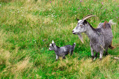 Cute grey goat kid with mother goat Royalty Free Stock Photos