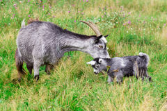 Cute grey goat kid with mother goat Royalty Free Stock Image