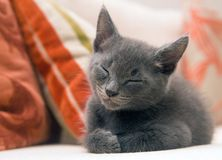 Cute grey kitten asleep on a sofa Stock Image