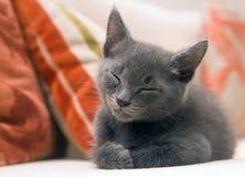 Cute grey kitten asleep on a sofa. A small six-week old grey kitten taking a nap on a sofa Stock Image