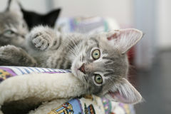Cute grey kitten lying down looking. Cute grey kitten lying in a bed with other kittens looking out and watching royalty free stock photos