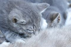 Grey kitten is sucking mother Royalty Free Stock Images
