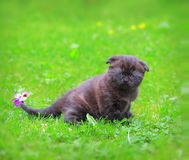 Cute grey kitten walking on grass Royalty Free Stock Photography