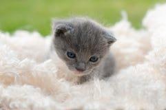 Grey kitten with white blanket Royalty Free Stock Photos