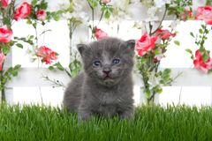Cute grey kitten by white picket fence with pink roses on green grass stock photo