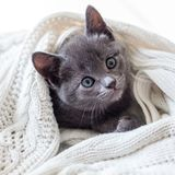 Cute grey kitten wrapped in white Knitted blanket. Cat in Knitted blanket hiding royalty free stock images