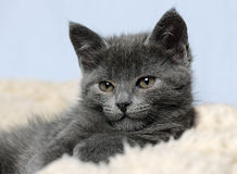 Cute grey kitty Stock Images