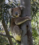 A cute grey Koala. The typical Australian wildlife icon. A lovely awake grey Koala in the tree royalty free stock photography