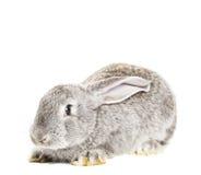 Cute grey rabbit Royalty Free Stock Image