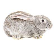 Cute grey rabbit Royalty Free Stock Photos