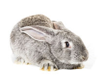Cute grey rabbit Royalty Free Stock Images