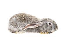 Cute grey rabbit Stock Photo
